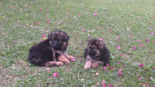 lindas filhotes de pastor alemão com pedigree