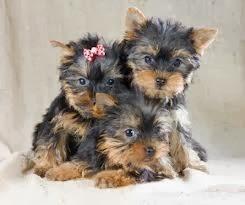 lindas fêmeas de yorkshire terrier baby face