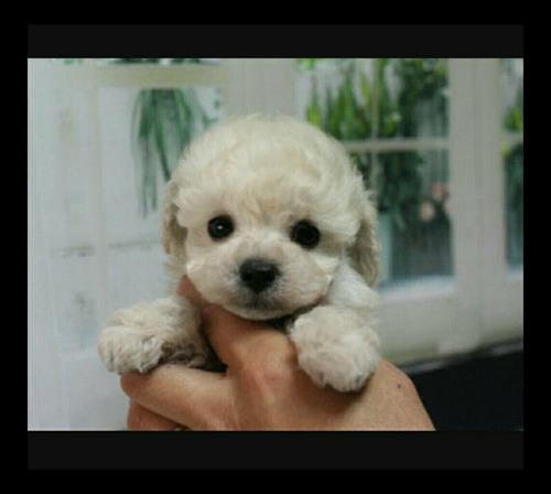 lindas fêmeas filhote de poodle toy padrão da raça.