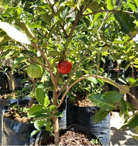 lindas mudas frutiferas e ornamentais. 31997241185 cris
