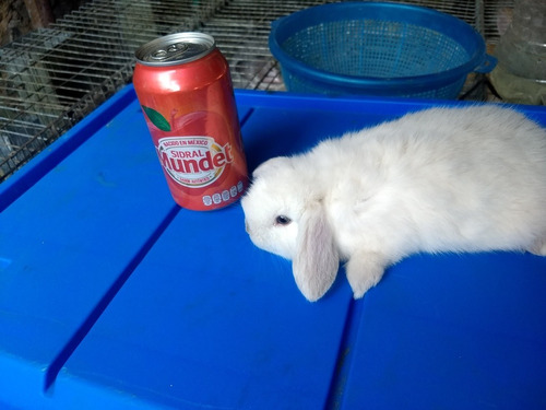 lindisimos conejos para mascota mini lop (belier) mas comida