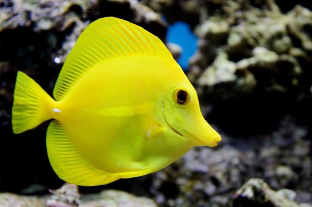 Lindo cirujano amarillo en mercado libre for Tipos de jaulas para peces