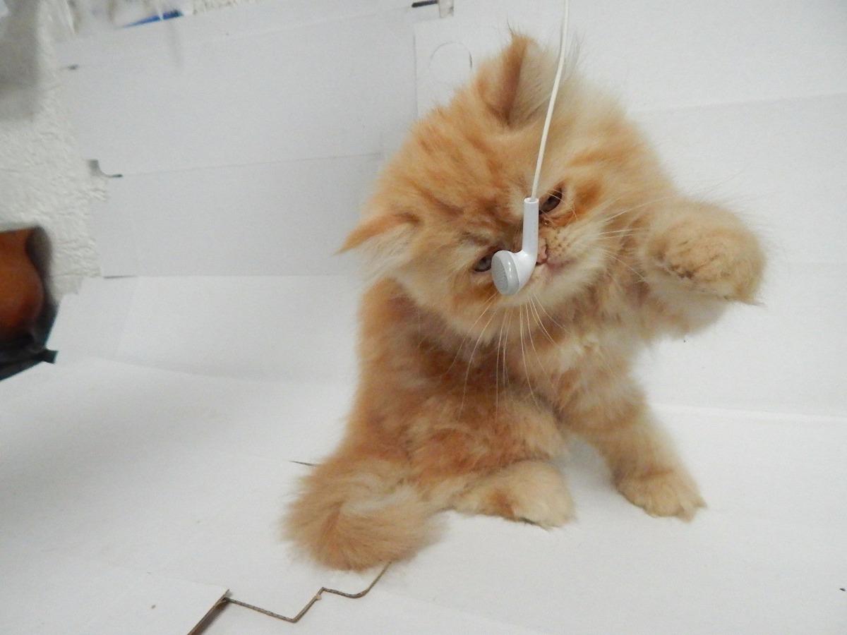 Lindo filhote de gato persa macho com 1 m s r em mercado livre - Cuidados gato 1 mes ...