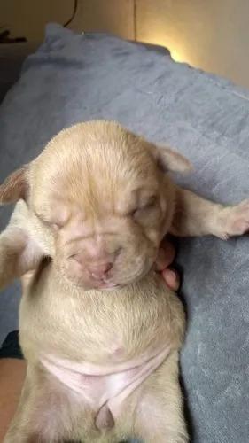 lindos american bully a venda em curitiba ! com pedigree cbk