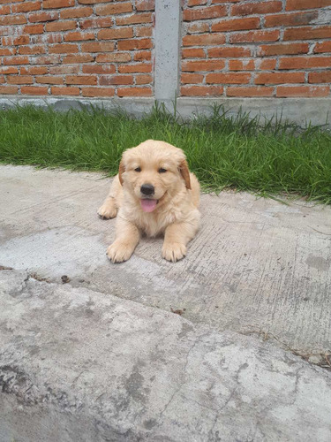 lindos cachorritos golden retriever 100% puros dorados