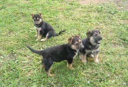 lindos cachorritos pastores aleman 100% puros