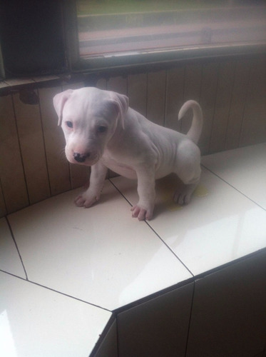 lindos cachorritos pitbull blancos
