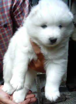 lindos cachorritos samoyedos blancos como la nieve
