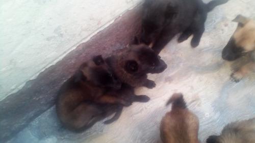 lindos cachorros pastor belga