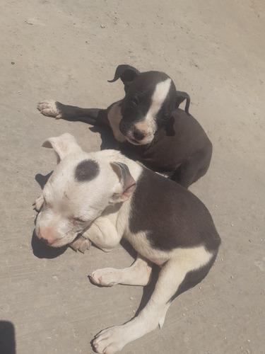 lindos cachorros pitbull bully