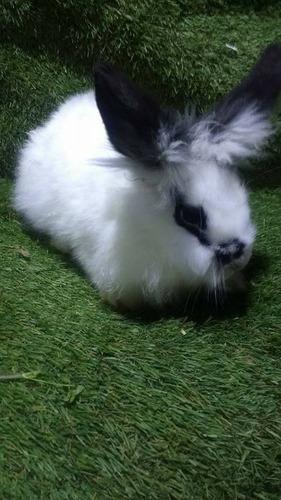 lindos conejos cabeza de leon ''criadero la alcantarilla''