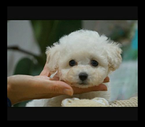 lindos filhote de poodle toy