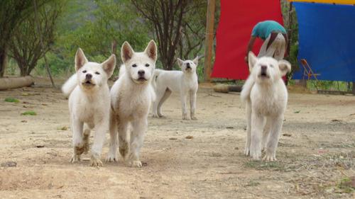 lindos filhotes akita inu japonês brancos nasce 09/08 só hoj