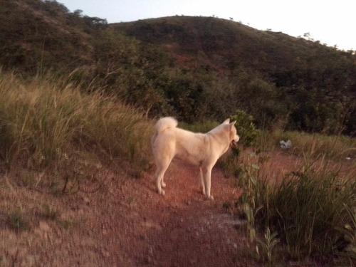 lindos filhotes akita inu japonês brancos nascerão fevereiro