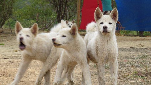 lindos filhotes akita inu japonês brancos nascidos 09/02