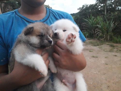 lindos filhotes de akita inu disponíveis para reserva