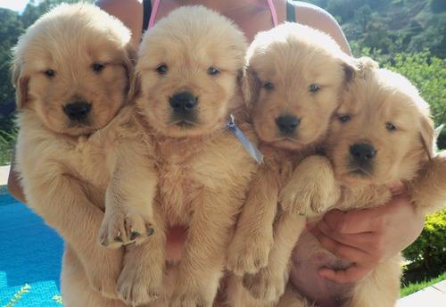 lindos filhotes de golden retriever - canil anjos do orypaba