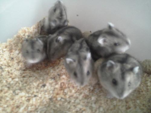 lindos filhotes de hamster chinês