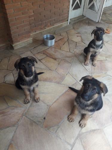 lindos filhotes machos  - pastor alemão