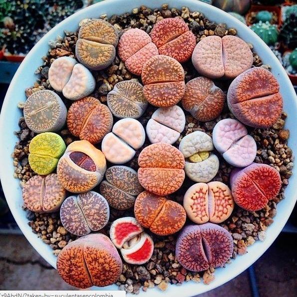 Lithops Cactus Piedra Piedras Vivas 30000 en Mercado Libre