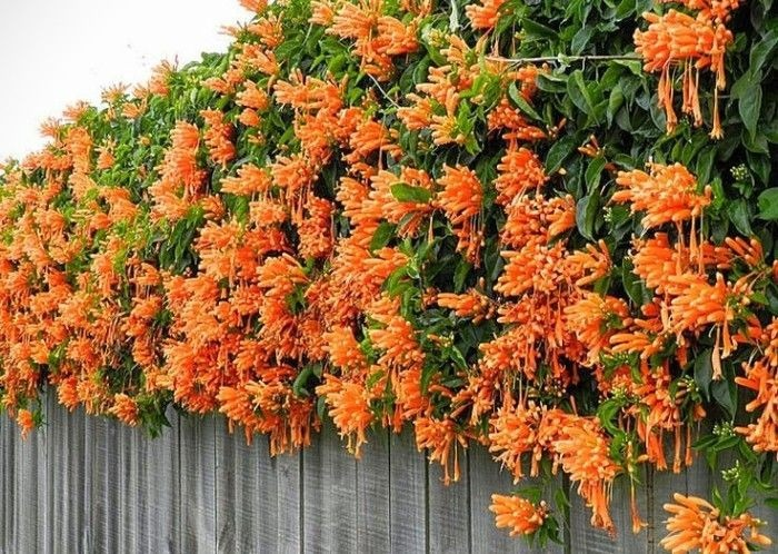 Llamarada enredadera en mercado libre - Plantas trepadoras de sol ...