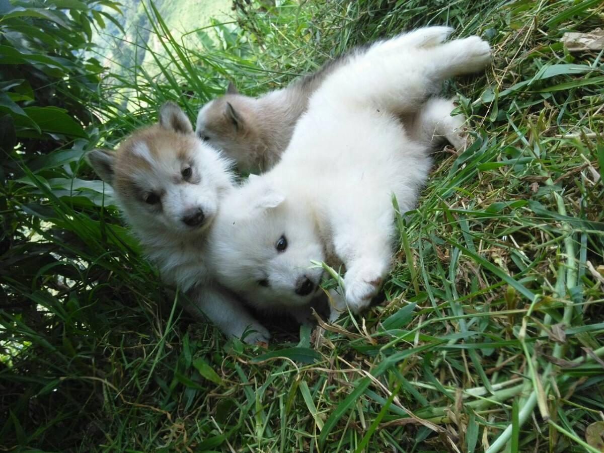 Lobo Blanco Blanca Huskey Siberiano Hermosos Cachorros Puros