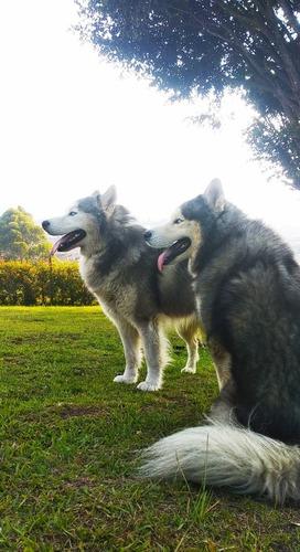 lobo husky siberiano para monta, ojos azules, pelo largo