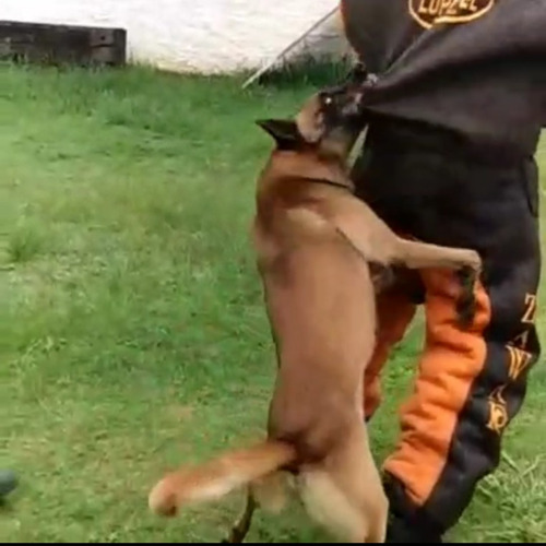 locação de cães de guarda