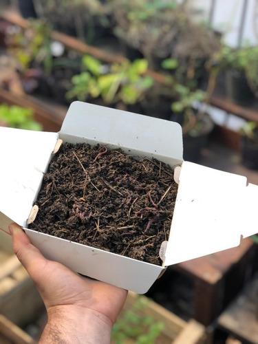 lombrices rojas californianas para compostar