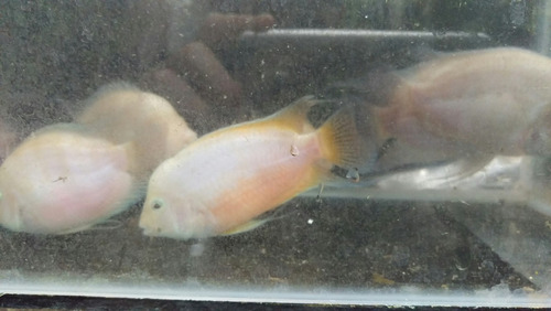 loritos blancos peces tropicales, ciclidos pecera.