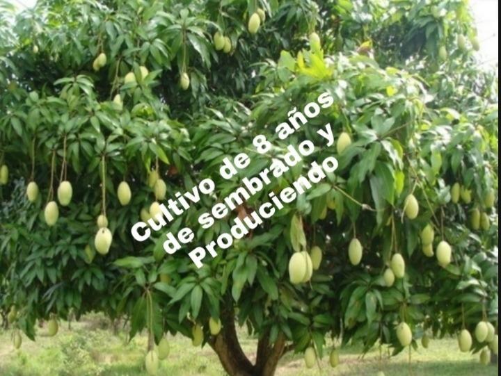 lote 1,5 has (cultivado en mango)