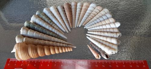 lote caracoles turritela 10cm. 26u, adorno acuarios