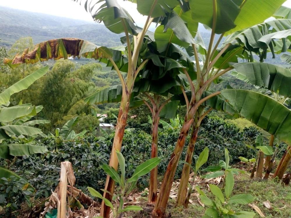 lote con cultivos en plena produccion de cafe y platano