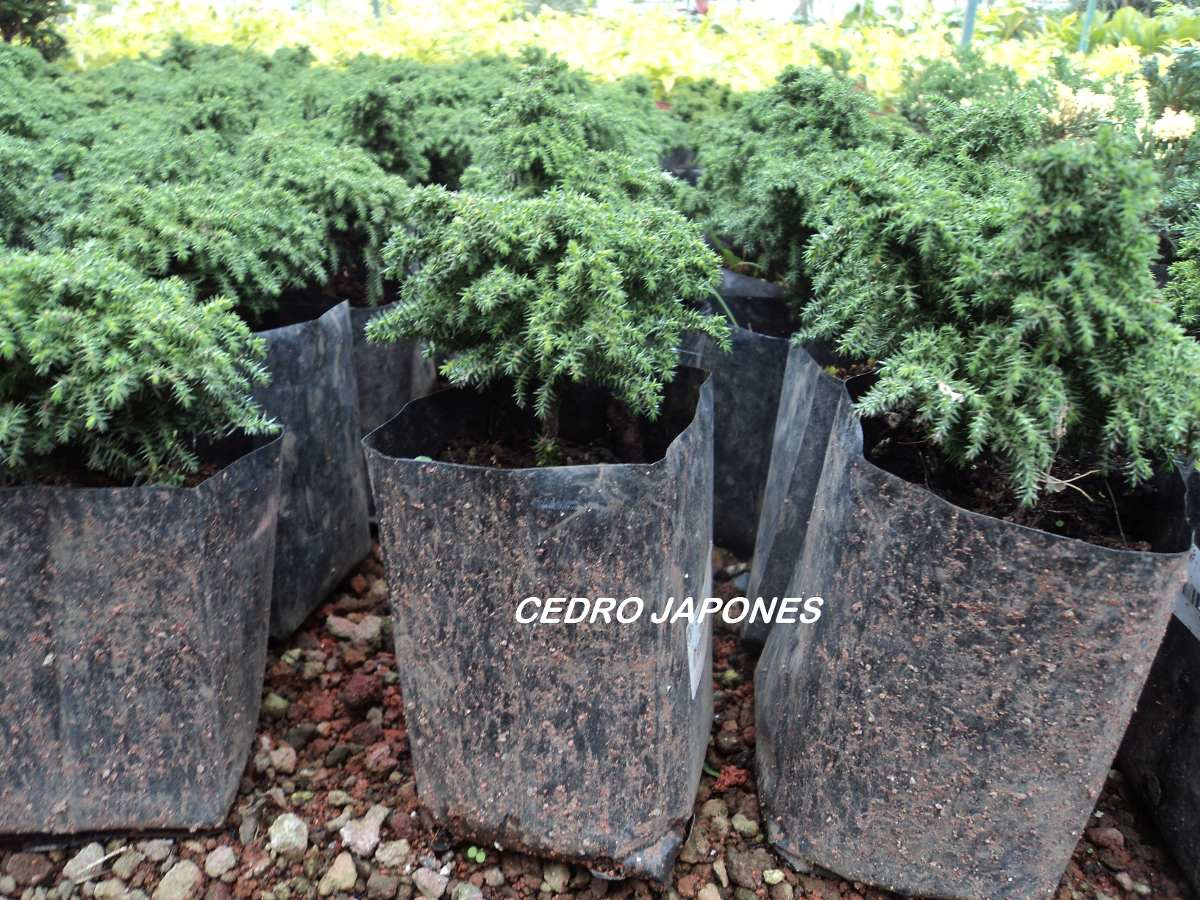 Lote de arbolitos para bonsai hinoki cedro juniperos pino - Arbolitos para jardin ...