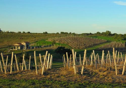 lote en venta con vides. carmelo. viñedos, uruguay.