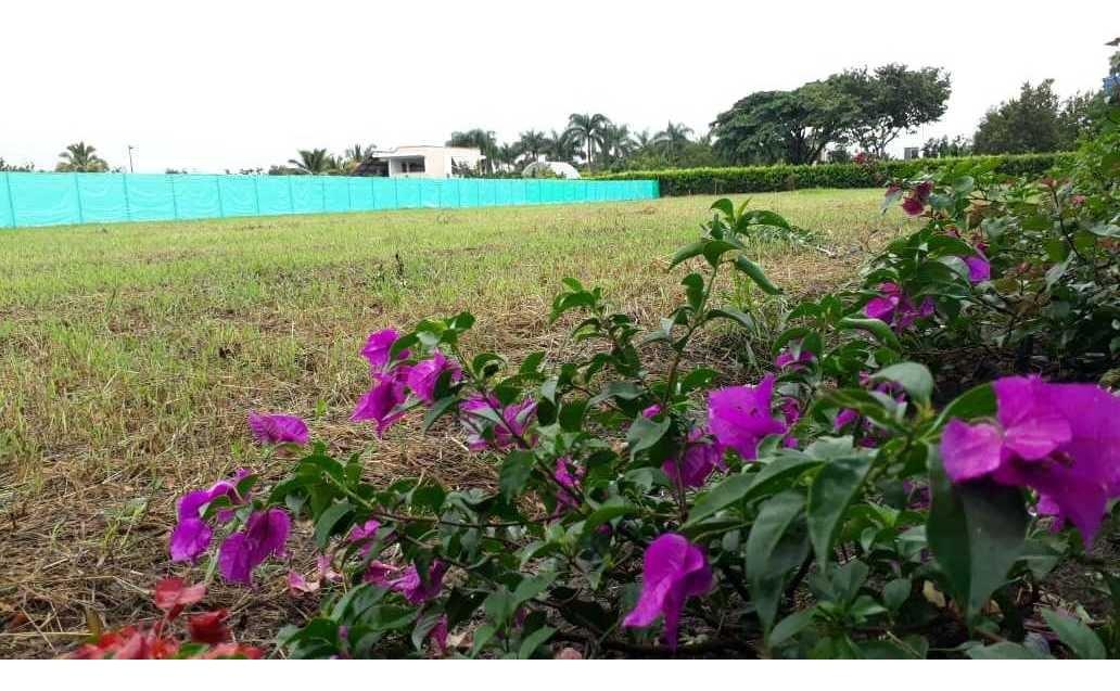 lotes rozó palmira