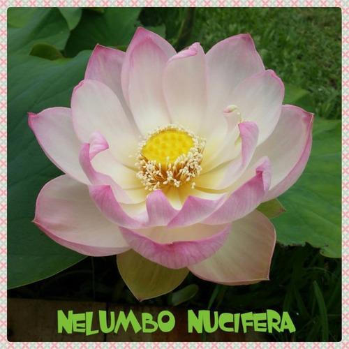 loto nelumbo nucifera... hermosos plantas enmacetadas!