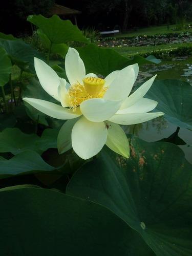 loto the queen, hermosas plantas enmacetadas!