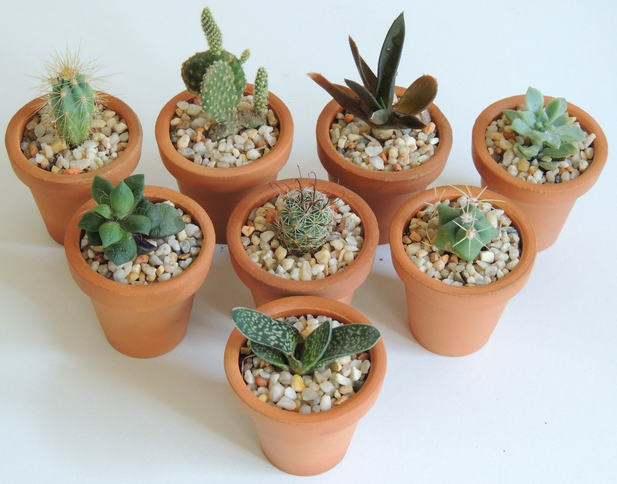 Maceta de barro 5cm con plantas suculentas o cactus 19 - Como cuidar las hortensias en maceta ...