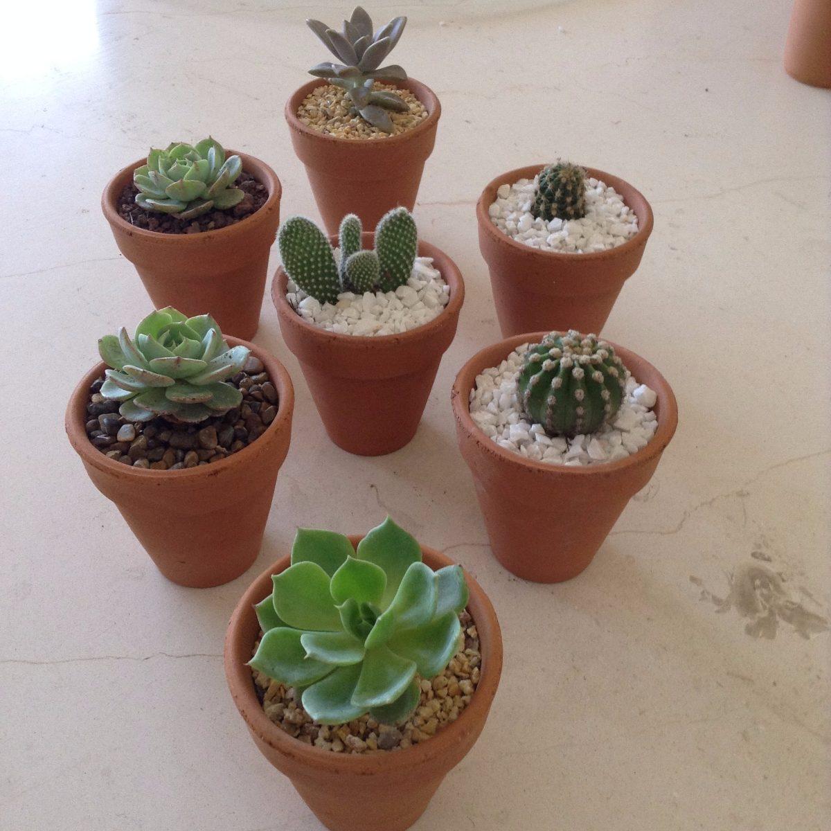 Maceta de barro con suculenta y cactus de 8 cm x 8 cm for Suculentas por mayor