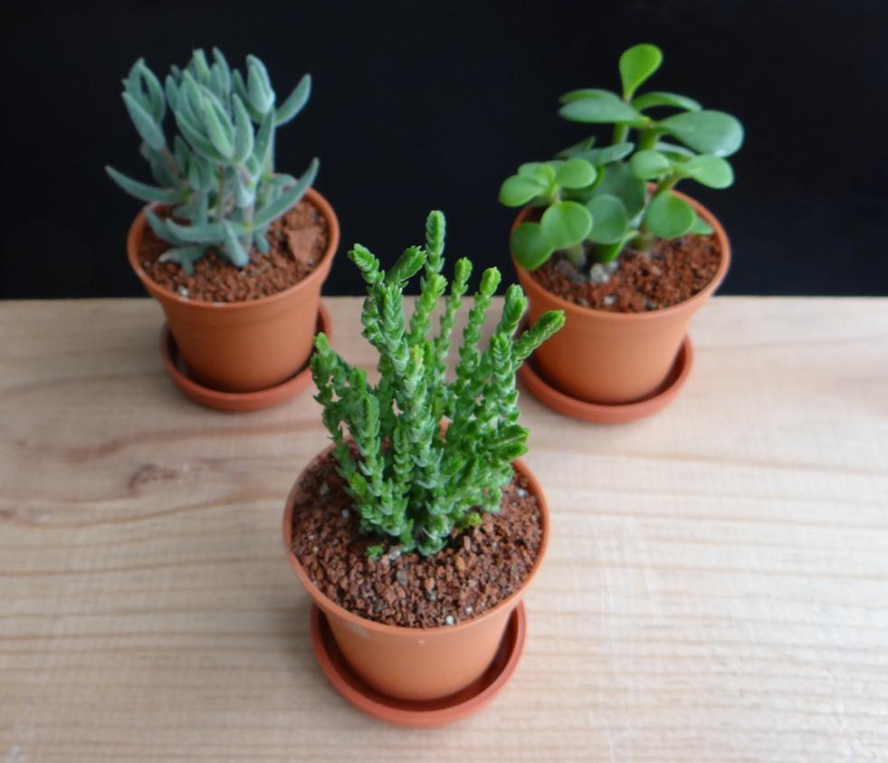 Maceta de pl stico 5cm con planta suculenta o cactus for Adornos para plantas con llantas