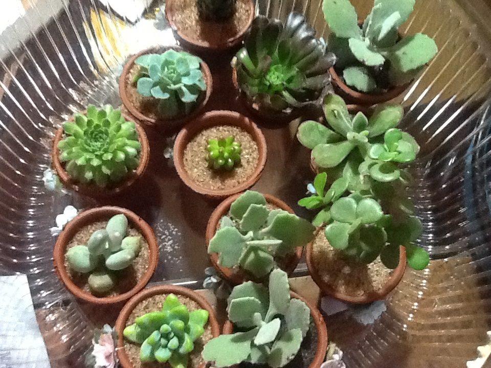 macetas de cactus y suculentas para recuerdos en