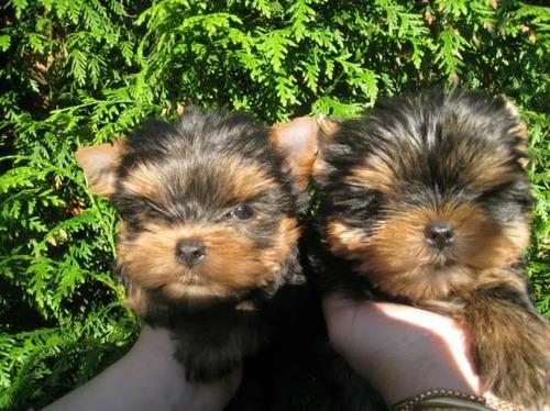 machinhos perfeitos lindos yorkshire terrier  enviamos!