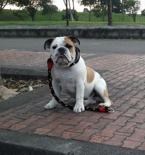 macho bull dog para monta