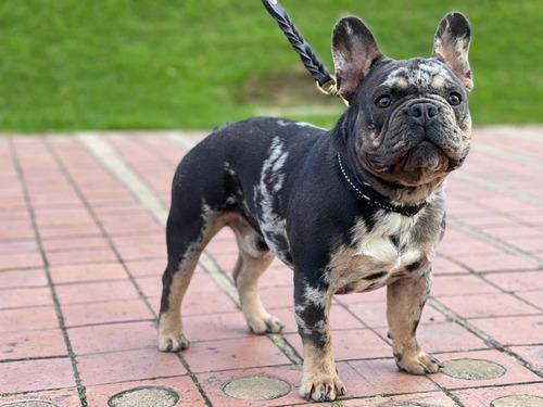 macho bulldog francés    reproductor