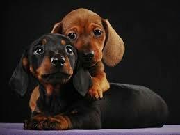 macho de  dachshund tecktel salsicha basset cofap hound