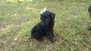 macho de poodle toy vacinados vermifugados