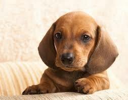 macho filhote de dachshund tecktel salsicha basset cofap