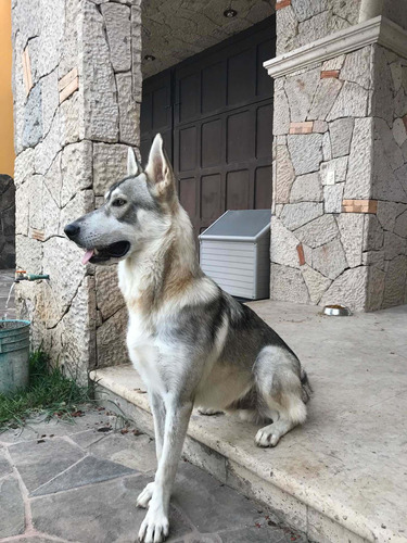 macho para monta (perro lobo o wolfdog)