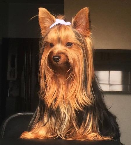 macho yorkshire terrier para monta